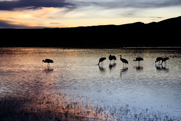 Sandhill Cranes feed in a pond on Dec. 18, 2012 in Bosque Del Apache Wildlife Refuge.