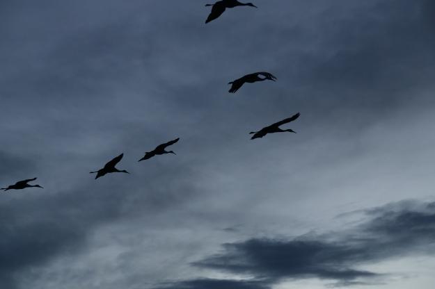 Birds-BosqueDelApache2012-BrookeWarren-0075.1