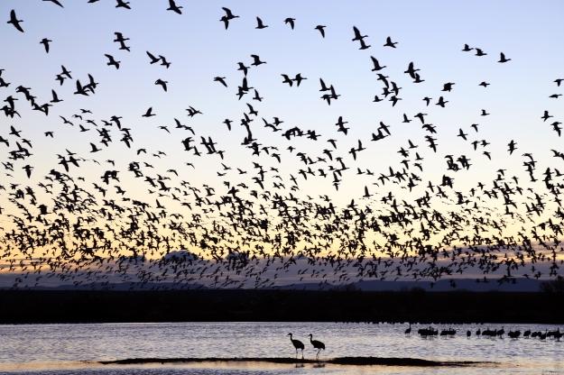 Birds-BosqueDelApache2012-BrookeWarren-0130
