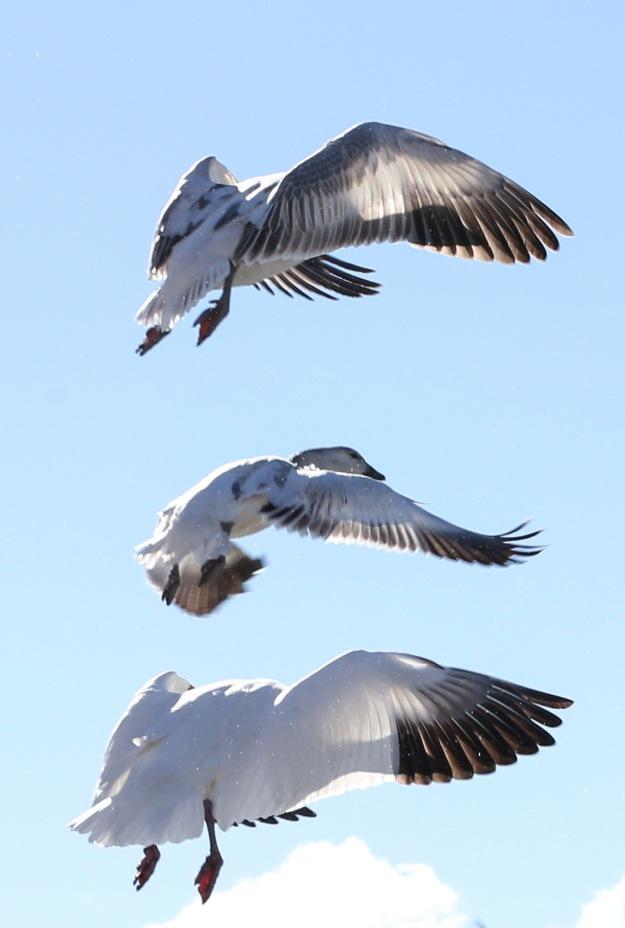 Birds-BosqueDelApache2012-BrookeWarren-0355.1