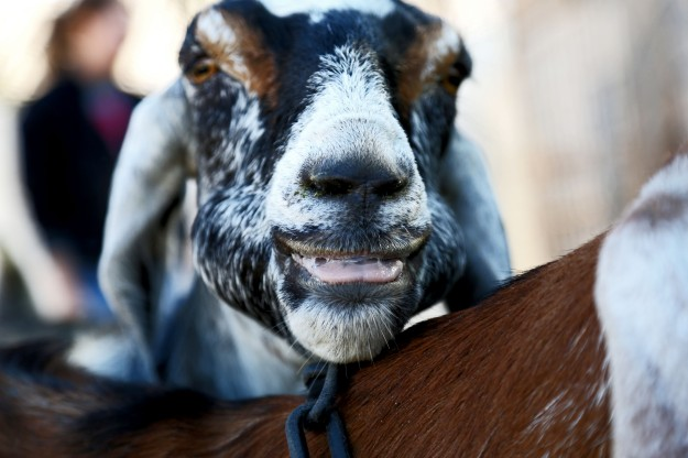 SimpleFarm-Goats2012-0012-BrookeWarren
