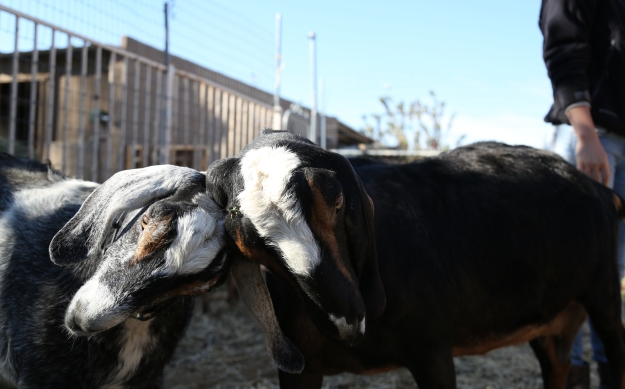 SimpleFarm-Goats2012-0031-BrookeWarrenA
