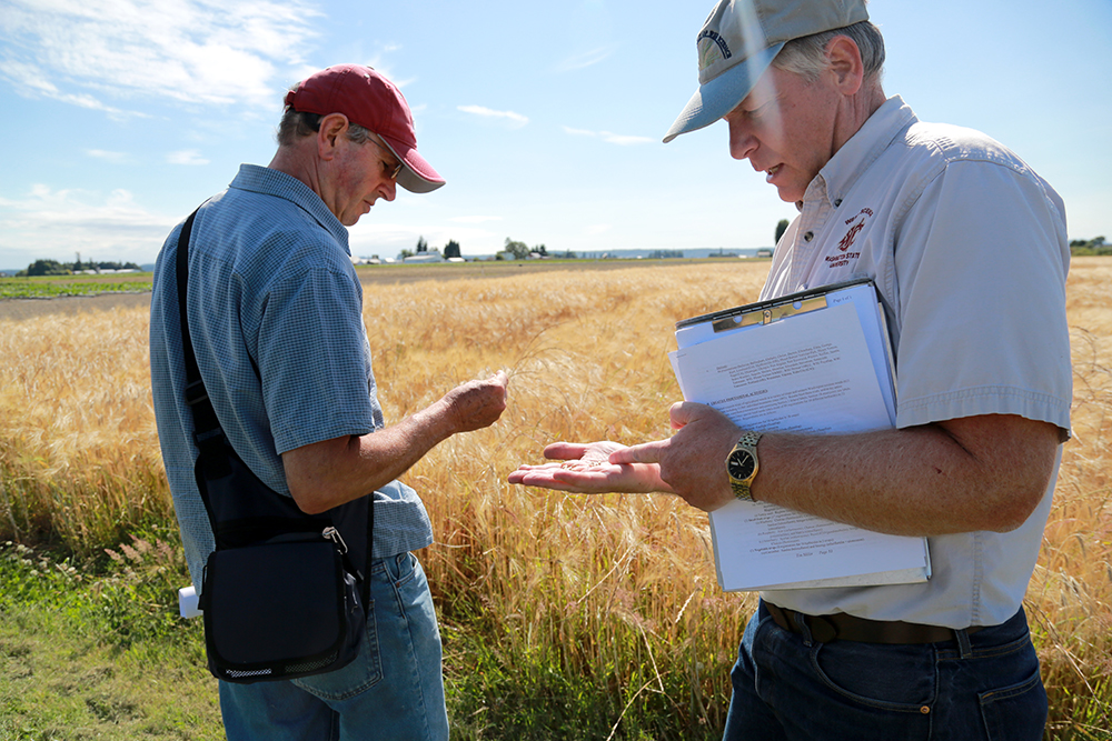 Kim Patten (left) and Tim Miller discuss the difference between barley and wheat during a field day where researchers shared their work with the public at WSU Extension Research Center in Mount Vernon, Wash. on July 11, 2013.  Brooke Warren / Skagit Valley Herald