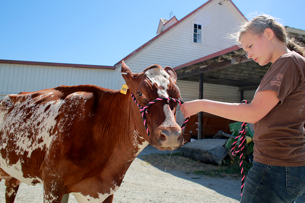 Katie Jo Conley leads her cow that she will sow at the Skagit County Fair. She has to put in hours washing and leading her cow every day for months to prepare for the fair.  Brooke Warren / Skagit Valley Herald