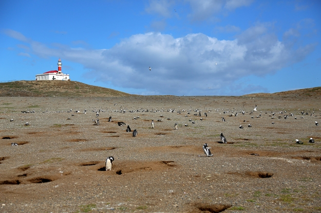 A tour group takes a ferry to visit a population of Magellanic Penguins on Isle Magdalena. The penguins usually live to be about 25 years old, unless they are eaten by a sea lion. The birds are monogomous and the males make their nests in burrows that cover the landscape.