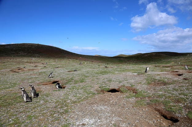 Magellanic Penguins dot the landscape of Isle Magdalena where a tour group takes a ferry to visit the birds. The penguins usually live to be about 25 years old, unless they are eaten by a sea lion.