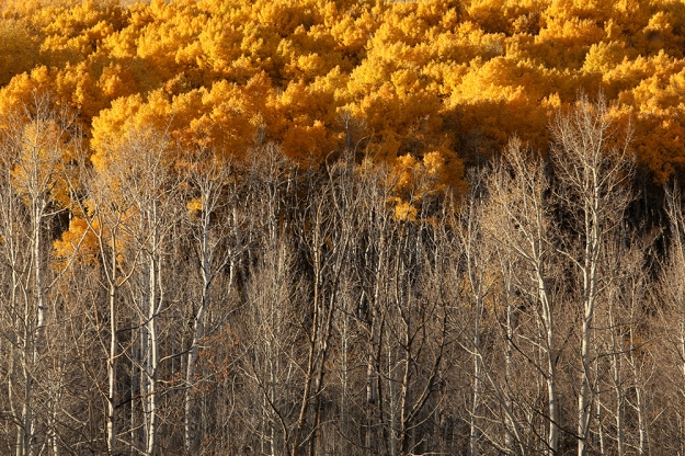 Fiery leaves rise above Aspens that have already shed their fronds on Kebler Pass in Colorado.